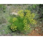 Édeskömény termés 40gr-Juvapharma-